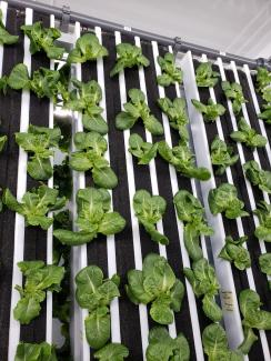 Hydroponic Vegetables Sloan Sustainability